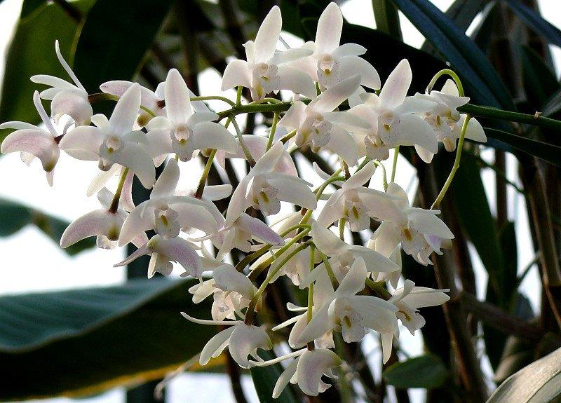 orchidee dendrobium baumstendel am in wilhelma stuttgart. Black Bedroom Furniture Sets. Home Design Ideas