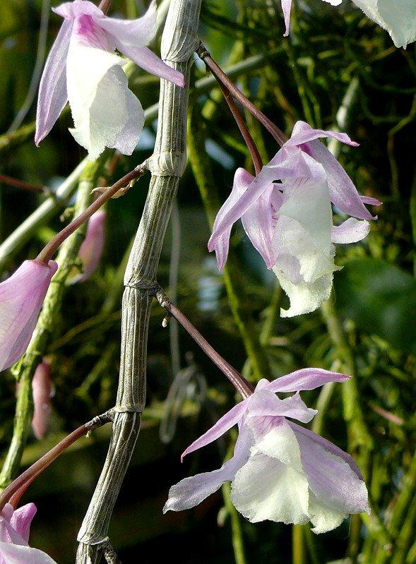 orchidee dendrobium am in wilhelma stuttgart. Black Bedroom Furniture Sets. Home Design Ideas
