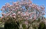 magnolienahnliche/31969/bluehende-magnolie-am-14042009-in-wilhelmastuttgart Blühende Magnolie am 14.04.2009 in Wilhelma/Stuttgart