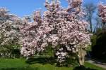 magnolienahnliche/31976/bluehende-magnolie-am-14042009-in-wilhelmastuttgart Blühende Magnolie am 14.04.2009 in Wilhelma/Stuttgart