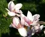 magnolienahnliche/31990/tulpen-magnolie-am-11042009-in-wilhelmastuttgart Tulpen-Magnolie am 11.04.2009 in Wilhelma/Stuttgart