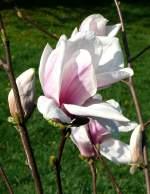 magnolienahnliche/31992/tulpen-magnolie-am-11042009-in-wilhelmastuttgart Tulpen-Magnolie am 11.04.2009 in Wilhelma/Stuttgart