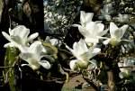 magnolienahnliche/31994/yulan-magnolie-am-11042009-in-wilhelmastuttgart Yulan-Magnolie am 11.04.2009 in Wilhelma/Stuttgart