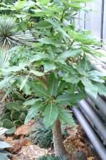 melonenbaumgewachse/37325/melonenbaum-papaya-am-02112008-in-wilhelmastuttgart Melonenbaum (Papaya) am 02.11.2008 in Wilhelma/Stuttgart