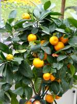 zitrusbaume/13822/citrus-bergamia---bergamotte-bitterorange-am Citrus bergamia - Bergamotte Bitterorange am 30.03.2009 im Blühenden Barock Ludwigsburg