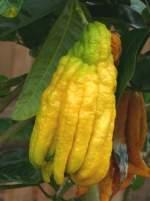 zitrusbaume/13824/citrus-medica-digitata---buddhas-hand Citrus medica Digitata - Buddhas Hand Zitronatzitrone am 30.03.2009 im Blühenden Barock Ludwigsburg