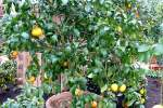 zitrusbaume/13829/citrus-paradisi---grapefruit-am-30032009 Citrus paradisi - Grapefruit am 30.03.2009 im Blühenden Barock Ludwigsburg