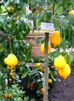 zitrusbaume/13832/citrus-limonimedica-rubra---zedrat-zitrone-am Citrus limonimedica Rubra - Zedrat-Zitrone am 30.03.2009 im Blühenden Barock Ludwigsburg