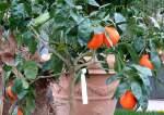 zitrusbaume/13835/citrus-tangelo-minneola---kreuzung-aus Citrus tangelo minneola - Kreuzung aus Mandarine und Grapefruit am 30.03.2009 im Blühenden Barock Ludwigsburg