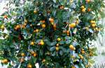 zitrusbaume/13837/citrus-clementine-am-30032009-im-bluehenden Citrus clementine am 30.03.2009 im Blühenden Barock Ludwigsburg