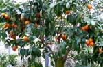 zitrusbaume/13839/citrus-sinensis-solitaer---orange-am Citrus sinensis Solitär - Orange am 30.03.2009 im Blühenden Barock Ludwigsburg