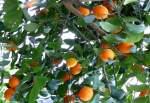 zitrusbaume/13840/citrus-sinensis-solitaer---orange-am Citrus sinensis Solitär - Orange am 30.03.2009 im Blühenden Barock Ludwigsburg