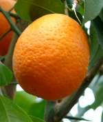 zitrusbaume/13841/citrus-sinensis-solitaer---orange-am Citrus sinensis Solitär - Orange am 30.03.2009 im Blühenden Barock Ludwigsburg