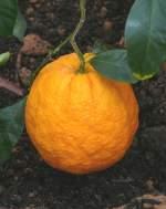 zitrusbaume/13842/citrus-medica-am-30032009-im-bluehenden Citrus medica am 30.03.2009 im Blühenden Barock Ludwigsburg