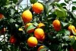 zitrusbaume/13849/citrus-aurantium---kreuzung-aus-mandarine Citrus aurantium - Kreuzung aus Mandarine und Pampelmuse am 30.03.2009 im Blühenden Barock Ludwigsburg