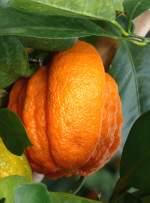 zitrusbaume/13852/citrus-aurantium---kreuzung-aus-mandarine Citrus aurantium - Kreuzung aus Mandarine und Pampelmuse am 30.03.2009 im Blühenden Barock Ludwigsburg