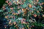 akanthusgewachse/18375/justizie-acanthaceae-am-22032009-in-wilhelmastuttgart Justizie (Acanthaceae) am 22.03.2009 in Wilhelma/Stuttgart