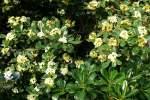 heidekrautgewachse/62169/rhododendron-am-09052009-in-wilhelmastuttgart Rhododendron am 09.05.2009 in Wilhelma/Stuttgart