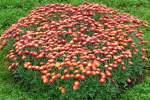 Korbblutler/45792/garten-chrysantheme-am-02112008-in-wilhelmastuttgart Garten Chrysantheme am 02.11.2008 in Wilhelma/Stuttgart