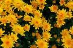 Korbblutler/59247/garten-chrysantheme-am-02112008-in-wilhelmastuttgart Garten-Chrysantheme am 02.11.2008 in Wilhelma/Stuttgart