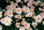 Korbblutler/59249/garten-chrysantheme-am-02112008-in-wilhelmastuttgart Garten-Chrysantheme am 02.11.2008 in Wilhelma/Stuttgart