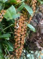 Chamacangis/18532/orchidee-chamacangis-hariotiana-am-22032009-in Orchidee Chamacangis hariotiana am 22.03.2009 in Wilhelma/Stuttgart