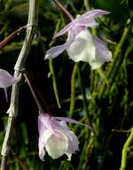 Dendrobium/18500/orchidee-dendrobium-pieradii-am-22032009-in Orchidee Dendrobium pieradii am 22.03.2009 in Wilhelma/Stuttgart