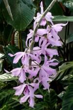 Dendrobium/22059/orchidee-baumstendel-dendrobium-am-03042009-in Orchidee Baumstendel (Dendrobium) am 03.04.2009 in Stuttgart/Wilhelma
