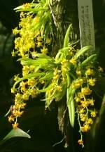 Diperathus/64236/orchidee-diperathus-planifolins-am-17052009-in Orchidee Diperathus planifolins am 17.05.2009 in Wilhelma/Stuttgart