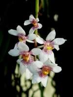 Name gesucht/22058/orchidee-am-03042009-in-stuttgartwilhelma Orchidee am 03.04.2009 in Stuttgart/Wilhelma