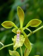 Name gesucht/5399/orchidee-baumwurz-am-07082008-in-wilhelmastuttgart Orchidee (Baumwurz?) am 07.08.2008 in Wilhelma/Stuttgart