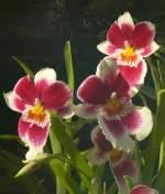 Name gesucht/64238/orchidee-am-27052009-in-wilhelmastuttgart Orchidee am 27.05.2009 in Wilhelma/Stuttgart