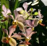 Name gesucht/7171/orchidee-am-24122008-in-wilhelmastuttgart Orchidee am 24.12.2008 in Wilhelma/Stuttgart