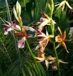 Phaius/14170/orchidee-phaius-am-11042009-in-wilhelmastuttgart Orchidee Phaius am 11.04.2009 in Wilhelma/Stuttgart