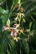 Phaius/14171/orchidee-phaius-am-11042009-in-wilhelmastuttgart Orchidee Phaius am 11.04.2009 in Wilhelma/Stuttgart