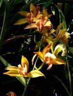 Phaius/18535/orchidee-phaius-am-22032009-in-wilhelmastuttgart Orchidee Phaius am 22.03.2009 in Wilhelma/Stuttgart