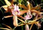 Phaius/18536/orchidee-phaius-am-22032009-in-wilhelmastuttgart Orchidee Phaius am 22.03.2009 in Wilhelma/Stuttgart