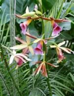 Phaius/61667/orchidee-phaius-am-09052009-in-wilhelmastuttgart Orchidee Phaius am 09.05.2009 in Wilhelma/Stuttgart