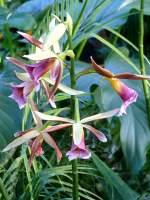 Phaius/62647/orchidee-phaius-am-17052009-in-wilhelmastuttgart Orchidee Phaius am 17.05.2009 in Wilhelma/Stuttgart