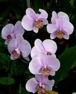Phalaenopsis/22061/orchidee-maienblume-phalaenopsis-am-03042009-in Orchidee Maienblume (Phalaenopsis) am 03.04.2009 in Stuttgart/Wilhelma