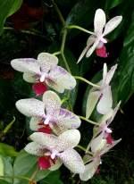 Phalaenopsis/22062/orchidee-maienblume-phalaenopsis-am-03042009-in Orchidee Maienblume (Phalaenopsis) am 03.04.2009 in Stuttgart/Wilhelma