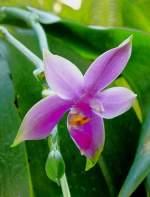 Phalaenopsis/4189/orchidee-phalaenopsis-am-21062008-in-stuttgartwilhelma Orchidee Phalaenopsis am 21.06.2008 in Stuttgart/Wilhelma