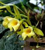 Trichopilia/4338/orchidee-trichopilia-am-21062008-in-wilhelmastuttgart Orchidee Trichopilia am 21.06.2008 in Wilhelma/Stuttgart
