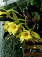 Trichopilia/4339/orchidee-trichopilia-am-21062008-in-wilhelmastuttgart Orchidee Trichopilia am 21.06.2008 in Wilhelma/Stuttgart