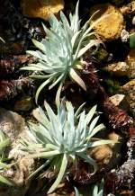 crassulaceae/70628/dudleya-am-13062009-in-wilhelmastuttgart Dudleya am 13.06.2009 in Wilhelma/Stuttgart