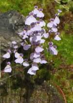 schlauchgewachse/4457/utricularia-blanchetii-am-28062008-in-wilhelmastuttgart Utricularia blanchetii am 28.06.2008 in Wilhelma/Stuttgart