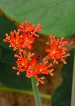 guatemalarhabarber/4332/guatemalarhabarber-am-21062008-in-wilhelmastuttgart Guatemalarhabarber am 21.06.2008 in Wilhelma/Stuttgart