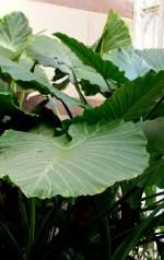 aronstabgewachse/15630/taro-giftige-pflanze-knolle-nahrungsmittel-am Taro (giftige Pflanze, Knolle Nahrungsmittel) am 17.11.2008 in Wilhelma/Stuttgart